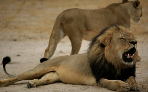 Cecil the Lion, Dead at age 13