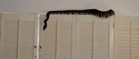 Dr Brewster Snake